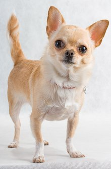 Image of a young chihuahua.
